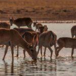 Қарағанды және Ақмола облыстарында жүзден астам киік атқан браконьерлер ұсталды